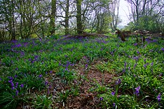 Beautiful Bluebells (GemFaith) Tags: wood bluebell blue purple flower flowers blooms bloom trees tree log green uk norfolk salhouse perennial stem bulbous leaves leaf broads