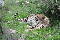 Гепард, Acinonyx jubatus, Cheetah (Oleg Nomad) Tags: гепард acinonyxjubatus cheetah африка танзания серенгети животные природа сафари africa tanzania serengeti nature animals safari travel