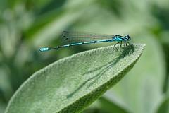 Azurjungfer / Coenagrion / turkish damselfly (Bernd Götz) Tags: libelle azurjungfer coenagrion