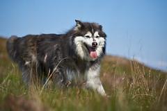19-july-kotlugengi-patterson_182 (Stefán H. Kristinsson) Tags: dogs hundar hundur playing reykjanes july júlí 2018 nikond800 nikon70200f4 sunny summer