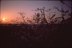 (✞bens▲n) Tags: olympus xa velvia 50 film analogue slide japan nagano sakura cherry blossoms evening dark sunset flowers