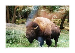 Encounter (Punkroyaltiger) Tags: film analog nikonf801 kodak portra400 50mmlens bison filmisnotdead