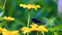 Ebony Jewelwing (Calopteryx maculata), Hartley Nature Center - Duluth MN USA, 07/25/18 (TonyM1956) Tags: elements hartleynaturecenter duluth stlouiscounty minnesota tonymitchell nature macrounlimited sonyalphadslr ebonyjewelwing calopteryxmaculata insect damselfly sonyphotographing