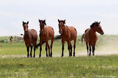 Wild Horses, Eastern Sierra, California (rollie rodriguez) Tags: wildhorses easternsierra california