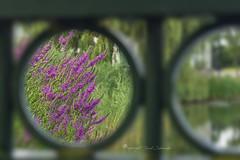 Vista (Ruud.) Tags: ruudschreuder sony7m2 sony alfa 7 m2 sonyalfa sonyalpha ilce7m2 sonyalphadslr roosendaal noordbrabant nederland holland brabant brabantslandschap northbrabant netherlands tolbergvijver kattestaart doorkijk view vista uitzicht paars purple
