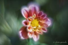 Shiny - vivid - dreamy (gporada) Tags: helios zenit helios44m4258mm vivid soft dreamy sonya7ii ilce7m2 macro bokeh wideopenshot flower shiny m42 naturallight