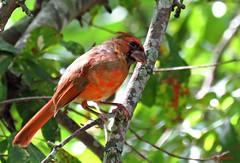 Red (Suzanham) Tags: bird cardinal tree red northerncardinal redbird nature wildlife songbird passerine cardinalidae cardinalgrosbeaks cardinalbuntings commoncardinal