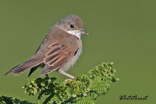 WHITETHROAT (Juv.)  // SYLVIA  COMMUNIS (14cm)