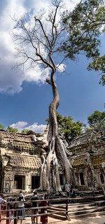Multi-photo Merged to Show the Full Extent of This Tree at Ta Prohm Cambodia-15