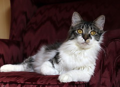 The Calendar Pose (Lisa Zins) Tags: elijah kitten cat feline cats lisazins petsandanimals pets animals tabby face catface kittenface portrait favorite happycaturday favoritepicture march2