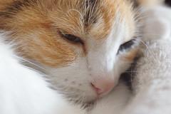 Sleepy Anca (Kurayba) Tags: edmonton alberta canada sony nex3 nex voigtlander brilliant anastigmat skopar 75 f45 digital back loose lens freelensing cat calico kitty feline anca sleepy sleeping closeup face fur