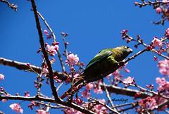 Birds like flowers! (Arlete M) Tags: tiriba bird sakura cerejeiraemflor camposdojordãosp brasil brazil bluesky céuazul pinkflowers winter inverno