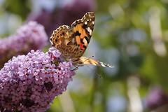 Painted Lady (Chris B@rlow) Tags: vanessacardui paintedlady butterfly lepidoptera leightonmoss lancashire rspb canon7dmarkii sigma105macro insect bug invertebrate wildlife nature