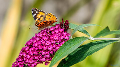Painted Lady 9th August 2018 (boddle (Steve Hart)) Tags: stevestevenhartcoventryunitedkingdomcanon5d4 painted lady 9th august 2018 steve hart boddle steven bruce wyke road wyken coventry united kingdon england great britain canon 5d mk4 100400mm is usm ii wild wilds wildlife life nature natural bird birds flowers flower fungii fungus insect insects spiders butterfly moth butterflies moths creepy crawley winter spring summer autumn seasons