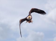 Fast Food... (DTT67) Tags: baldeagle eagle bird birdofprey bif fish talons wildlife nationalgeographic nature flight symbol maryland canon 1dxmkii