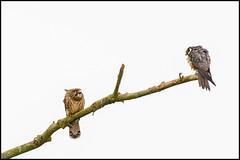 Kestrel v Hobby (John R Chandler) Tags: animal bird birdofprey brandonmarsh commonkestrel eurasianhobby falcosubbuteo falcotinnunculus falcon hobby kestrel unitedkingdom warwickshire warwickshirewildlifetrust
