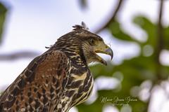 Harri's Hawk (Mario Arana G) Tags: 7d ave bird birding cr canon costarica florayfauna guanacaste harrishawk marioarana nature photography wildlife
