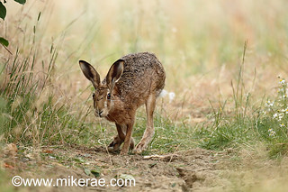 Brown hare keeping low past daisies on dry ground. July Suffolk.  Lepus europaeus