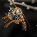 Robber Fly (Saropogon sp.) with prey (jgruber111) Tags: saropogon dasypogoninae asilidae diptera insect macro entomology robberfly