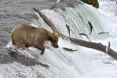 Are you tasty? (mariya_ka) Tags: alaska nature nikond600 bear waterfall animals salmon sigmaaf50500mmf4563 travels ngc