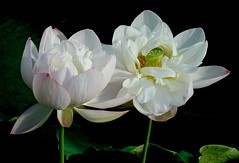 Delicate Lilies (Pufalump) Tags: lilies kewgardens white water green leaves macro