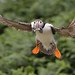 Puffin (KHR Images) Tags: