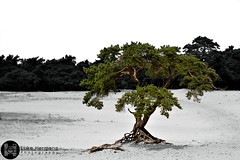 Lone Tree, Veluwe, Netherlands (Luke Hermans Photography) Tags: tree boom color splash veluwe netherlands nederland nature natuur zwart wit black white monochrome sand zand desert woestijn dry droog bos forest