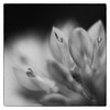 Trois coeurs (sosivov) Tags: sweden flower heart macro frame blackandwhite monochrome squareformat square
