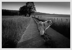 Nazca (orichier) Tags: tree path blackandwhite film lorraine france grass sun country dog dynax9 maizières nazca animal campagne chien herbes nature soleil été