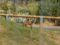 Foxing Around (7DWF - Sunday's - Fauna) (Mad Cow Imagery) Tags: canonefs18135mmf3556isstm canoneos80d fauna 7dwf nature fox summer britishsummertime bst essex elsenham england gb greatbritain uk unitedkingdom