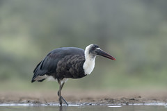 Woolly necked Stork - Zimanga - South-Africa (wietsej) Tags: nature birds woolly necked stork zimanga southafrica sony ilca77m2 135mm f18 za a77ii zeiss sal135f18z