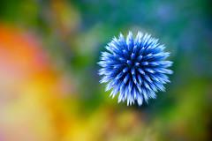 Color bomb (katjacarmel) Tags: colors color colour colours kleuren kleur macro flower nature bloem natuur blue