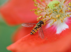 Hoverfly (katy1279) Tags: hoverflypoppygardennaturebeauty