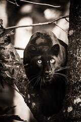 _DSC1768.jpg (sylvainbenoist) Tags: photo mammifères félins nature chordés leopard animaux nb panthere chordata pantherapardus