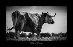 The Wild Wild East (timgoodacre) Tags: cow cows moo steer bovine animal horns longhorn grass grassland ngc field sky blackwhite blackandwhite mono monochrome