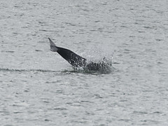 Bottlenose Dolphin jumping (RedPlanetClaire) Tags: new quay wales sea water dolphin ceredigion cardigan bay bottlenose wildlife marine mammal wild free jumping