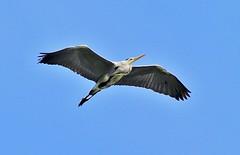 Grey Heron (BrianDerbyshire) Tags: heron greyheron ardeacinerea flight bird canon canondslr