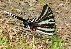 Zebra Swallowtail_N1290 (Henryr10) Tags: miamimeadowspark milfordoh miamimeadows zebraswallowtail eurytidesmarcellus eurytides papilioninae papilionidae bmna butterfly large black butterflies papillon schmetterling mariposa farfalla borboleta vlinder flunnerk kapelleke