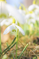 Time to fill yourself with light (Eliise Poolma) Tags: spring light sunny peaceful flowers white countryside galanthusnivalis snowdrop