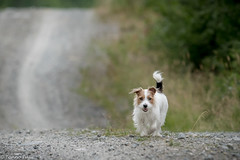 Sara. On the road again! 31/52 (Tõnno Paju) Tags: sara 52weeksfordogs animal dog pet jack russell terrier road outdoors nikkor nikon