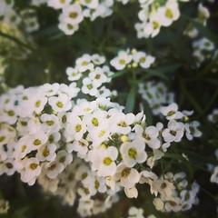 Lobularia maritima (wildwoodwitch) Tags: alyssum sweetalyssum lobulariamaritima flower flowers white originalphotography
