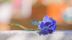 Blue (paulapics2) Tags: hydrangea summer blue flora garden nature plant flower canoneos5dmarkiii canonef70300mmf456lisusm