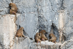 Babouin de Guinée (◄Laurent Moulin photographie►) Tags: babouin de guinee citadelle besancon parc animalier zoo zoologique singe singes