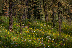 Alpine Meadow in Bloom (jan lyall) Tags: wildflowers banff sunshinemeadows larches trees hiking mountain elevation summer summerflowers banffnationalpark canada forest tree landscape alpine meadow