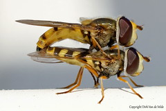 Hooverflys (DirkVandeVelde back , and catching up) Tags: europe europa europ fauna frankrijk france insects insekt insect insekten nordpasdecalais bercksurmer côtedopale zweefvlieg hooverfly