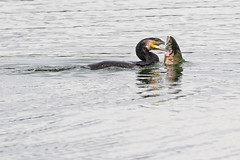 Cormorant (drbut) Tags: cormorant phalacrocoraxcarbo water lakes bird birds fish wildlife nature canonef500f4lisusm
