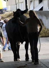 Silhouette (Ogedn) Tags: cow steer 4h cattle fair show animal summer michigan farm youth