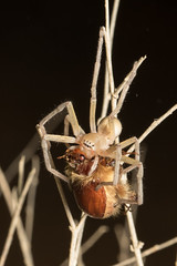 Cebrennus spider with beetle prey (Ron Winkler nature) Tags: cebrennus spider beetle prey arachnid arachnida araneae israel asia canon 100mm macro negev desert wildlife nature