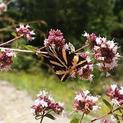 #pyrinees #igersandorra #andorra #butterfly #oregano #wildlife #nature #bug #flowers #summertime (Foreverbarcelona) Tags: barcelona touring travelling