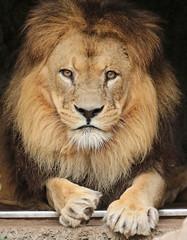 African lion Caesar Artis JN6A1632 (j.a.kok) Tags: leeuw lion africa afrika afrikaanseleeuw africanlion animal artis mammal zoogdier dier predator pantheraleoleo kat cat